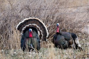 Get Ready for Your Next Turkey Hunt With These Helpful Tips